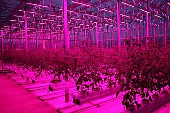 Innovating with tomatoes: LED lighting in growth chambers - Green4Health BV