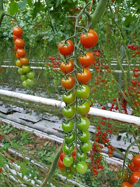 Loose and vine cherry: Red, brown, yellow, brown-stripe - Green4Health BV