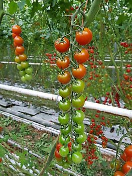 Loose and vine cherry: Red, brown, yellow, brown-stripe - HW Seeds BV