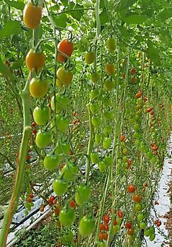 Santa (baby plum): Red and yellow and with Ty resistance - HW Seeds BV